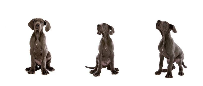 Cute young great dane dogs on white background