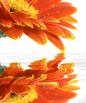 gerbera daisy with reflections