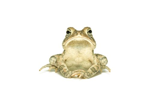 Southern Toad Indignant