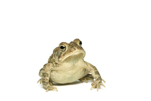 Southern Toad Leaning