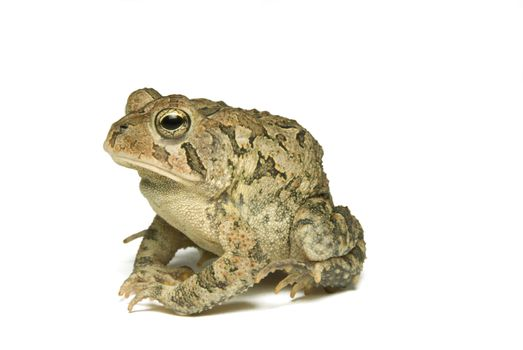 Southern Toad Profile