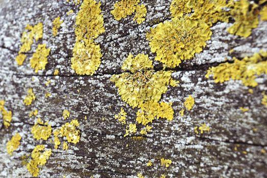 Lumbers With Yellow Moss Fungus
