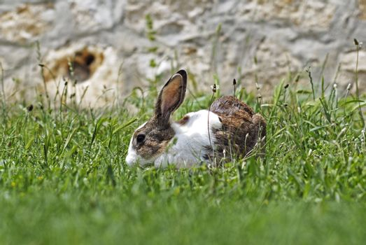 Brown white rabbit