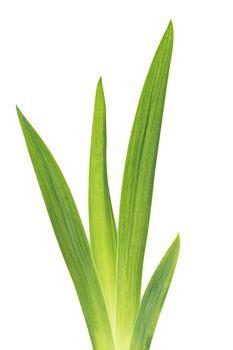 green iris leafs