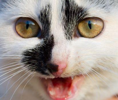 small kitten meow