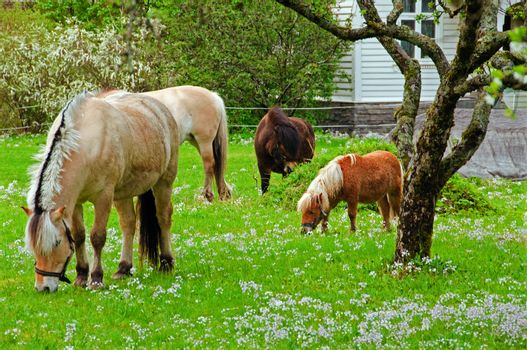 Horses and ponies in a flowery meadow