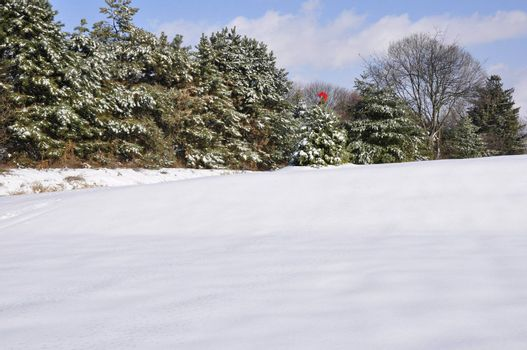 snow covered evergreen trees by snow covered field
