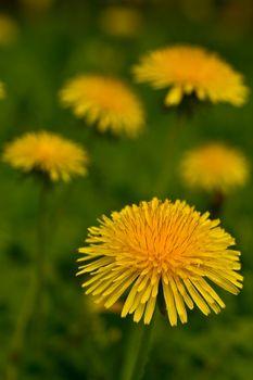 Dandelion Taraxaci radix �um herba