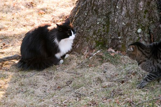 Cat Confrontational Stare Down