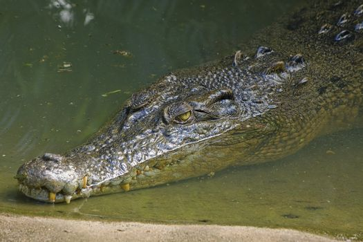 An Australian estuarine crocodile