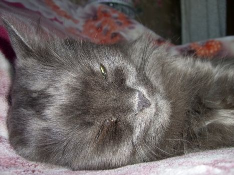 Gray cat; home animal; beast; lazybone; wool; tender charge;  moustache; amusing; funny; pet