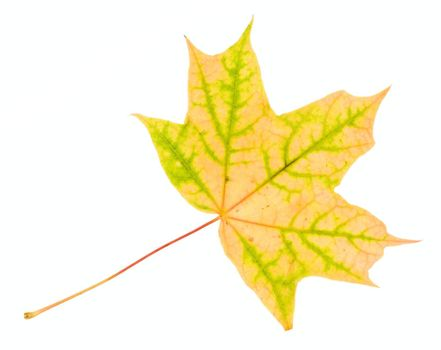 fallen yellow-green maple leaf, isolated on white