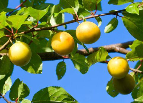 ripe cherry-plum against a blue sky