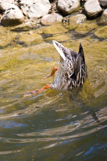 close-up diving duck
