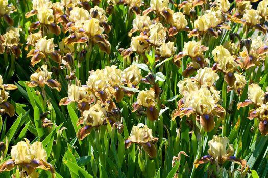 close-up yellow-brown-purple irises on field