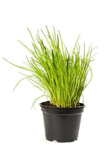 pot of chives isolated on white background