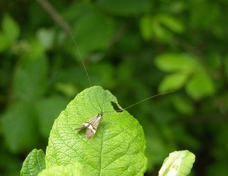 Moth Nemophora degeerella