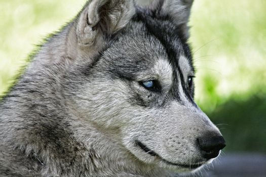 Blue eye husky