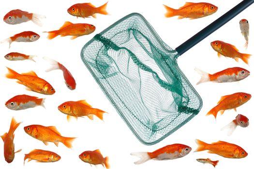 Many goldfish and net
