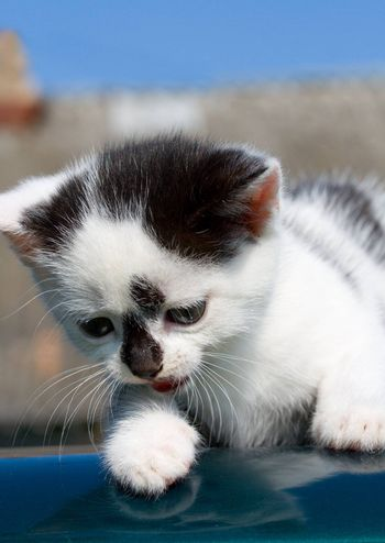 kitten lying on car with reflection