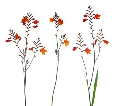 Orange Marsh Gladiolus