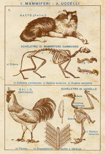 ITALY - CIRCA 1940: Vintage illustration of animals, circa 1940 in Italy