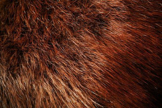 Authentic beaver fur