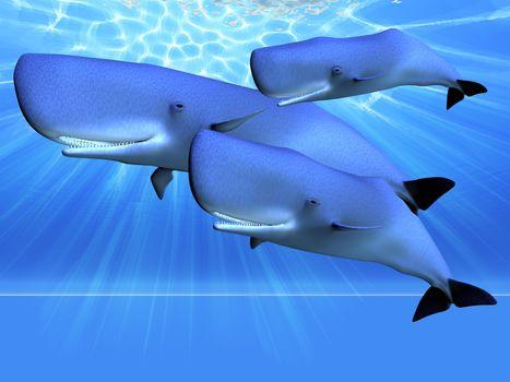 Three sperm whales swim as a pod in beautiful blue ocean.