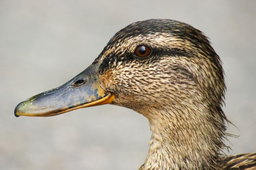 female mallard duck portrait