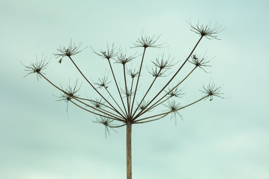 Dried up inflorescence of an umbellate plant