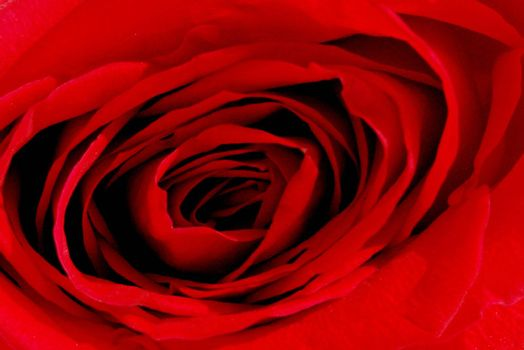 texture of red rose, passion photo image