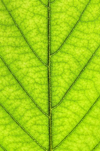 Green leaf texture close up as natural background