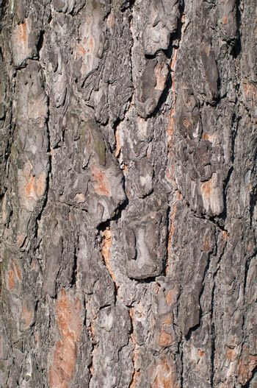 Pine bark texture, pattern vertical