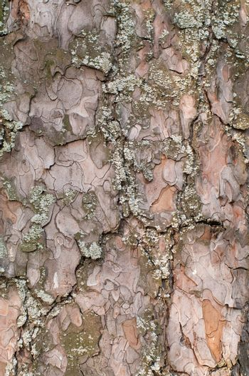 Pine bark with moss texture, pattern