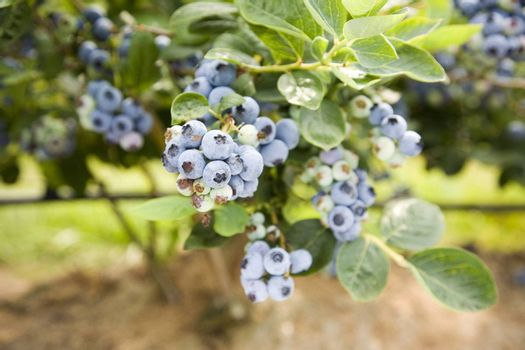 Blueberries at a U Pick berry farm in the Pacific Northwest. Shallow depth of field.