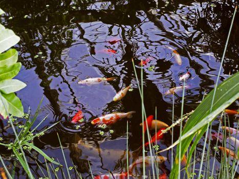 many koi fishes