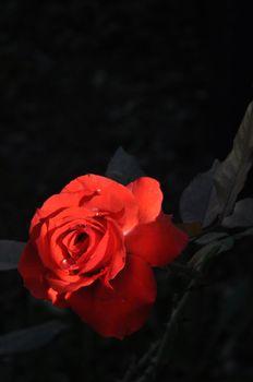 rose rosa rossa red roses fiore flower flowers fiori natura nature san valentino san valentine