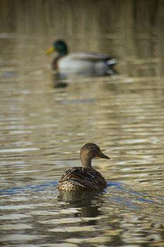 Two mallard ducks into a lake.