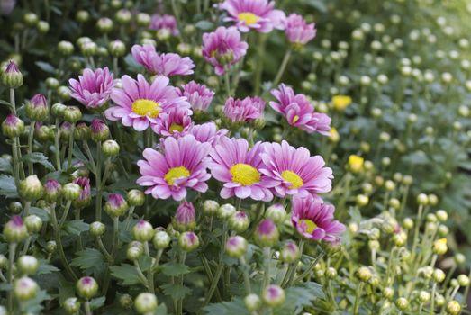 Colorful Chrysanthemum 3