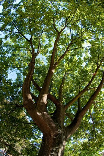 Branches of the oak