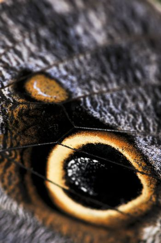 Owl Butterfly wing spots