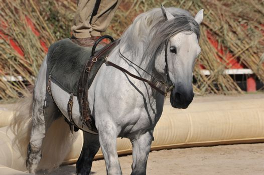 Show of equestrian acrobatics