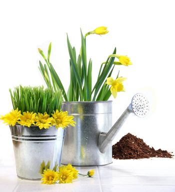 Garden pot with grass, daisies and watering can on white