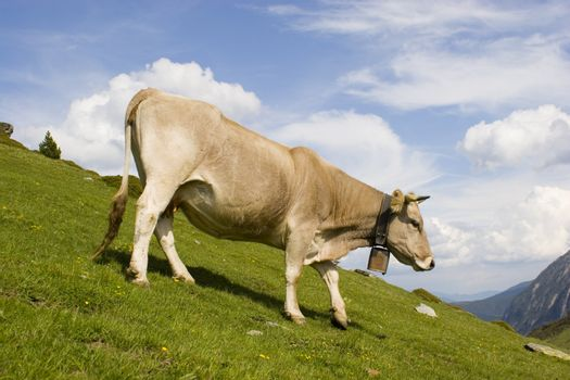 Cow walking down a moutain meadow in the spanish pyrenees