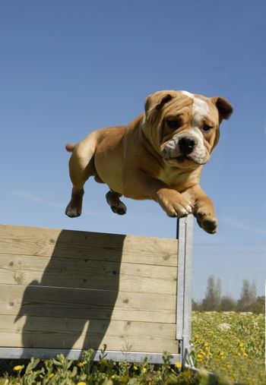training in agility of a purebred english bulldog