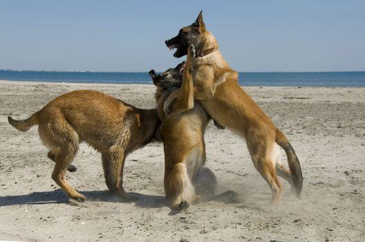 three young purebred belgian shepherd biting on the beach