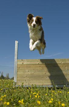 portrait of a purebred jumping australian shepherd in a blue sky