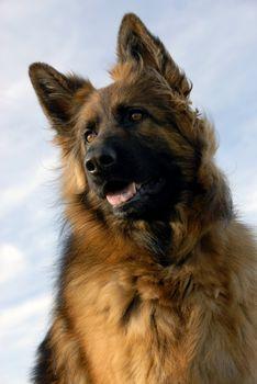 portrait of a beautiful purebred german shepherd
