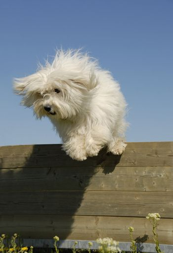 portrait of a jumping maltese dog in a training of agility