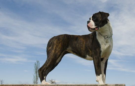 portrait of a beautiful purebred boxer and blue sky
